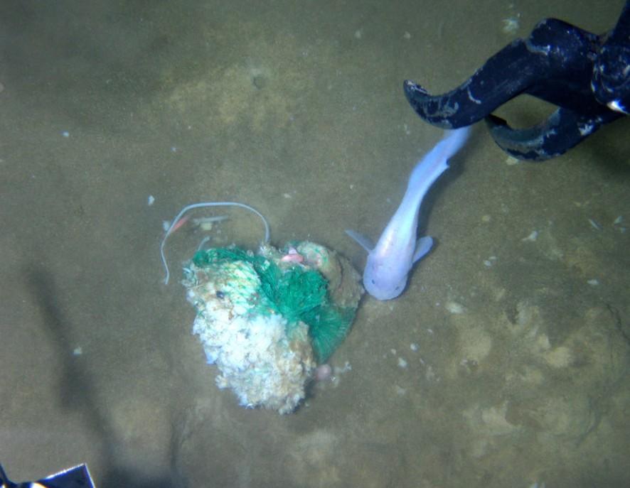 蛟龙号在7062米海底发现奇怪深海生物
