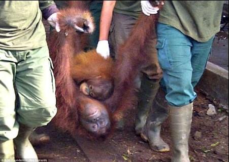 日屄综合_印尼21只红毛猩猩重返丛林 曾有猩猩被逼卖淫
